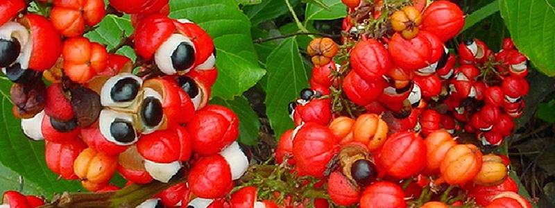 Guarana roślina